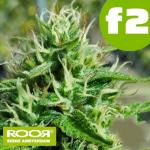 RooR Seeds f2 Big Critical