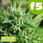 RooR Seeds f5 Blue Mazar
